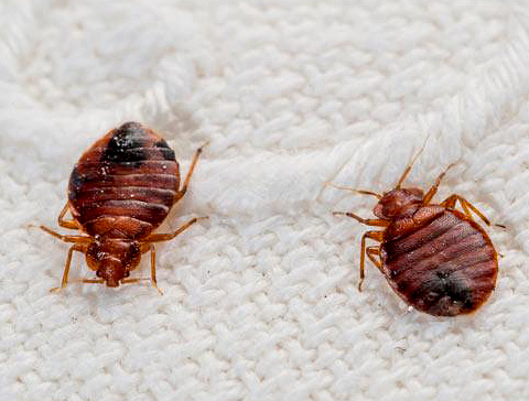 Richland Termite Specializes in Eradication of  Bed Bug Infestations