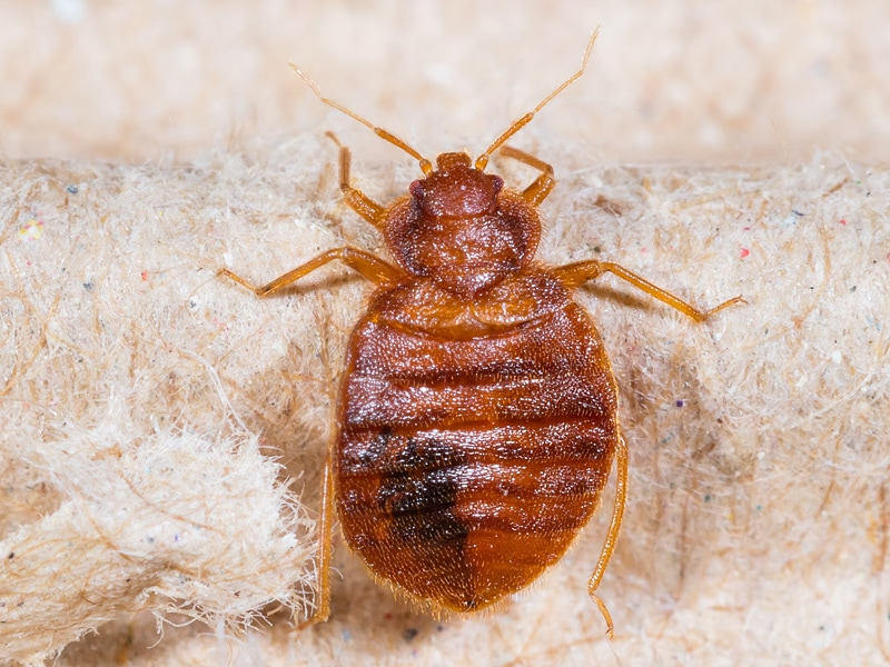 Bedbugs are small, flat human blood sucking insects